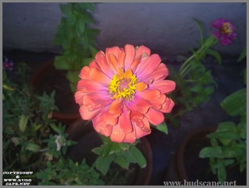 peach-zinnia-from-seed