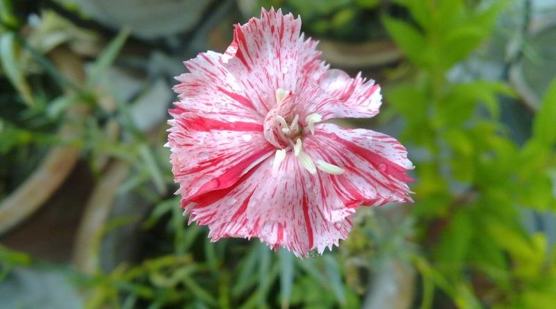 striped-dianthus
