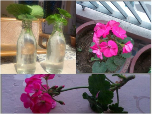 growing-geraniums-in-water-from-leaf-cuttings