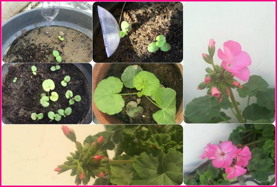 Grow Geraniums From Seeds Sow Seeds For Variety Of Geraniums