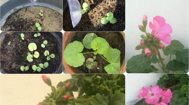 GROWING GERANIUM FROM SEED