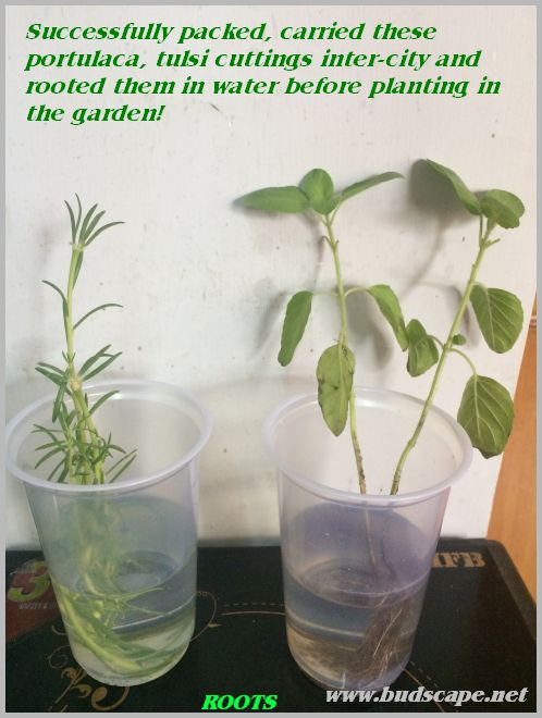 HOW TO PACK & CARRY PLANT CUTTINGS