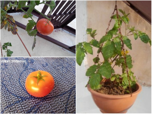EPSOM SALT FOR TOMATOES