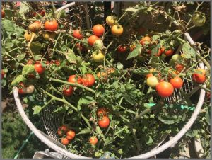 more healthy tomatoes grown with epsom salt