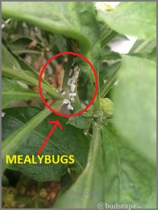mealybugs on capsicum stems & leaves