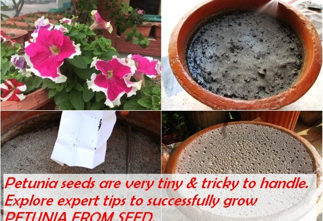GROW PETUNIA FROM SEED - SOW PETUNIA SEEDS