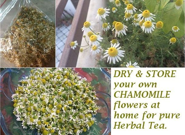 dry and store chamomile flowers at home for herbal tea