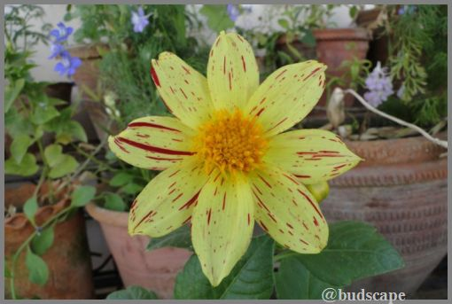 STRIPED DAHLIA FROM SEED
