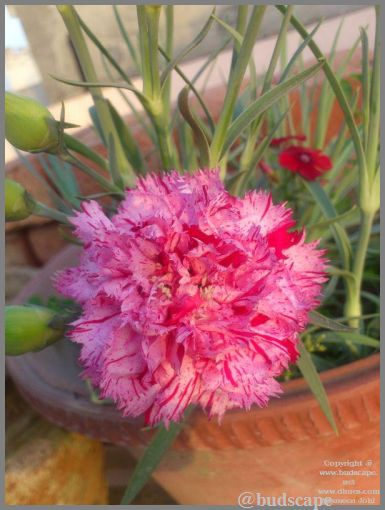 striped carnation from seed