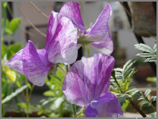 striped sweet pea from seed