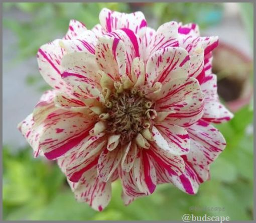 striped zinnia from seed