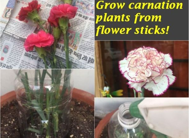 grow carnation plants flower sticks