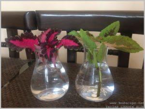 grow coleus cuttings water indoors