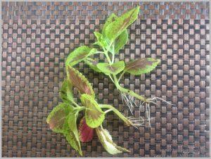 grow coleus water indoors