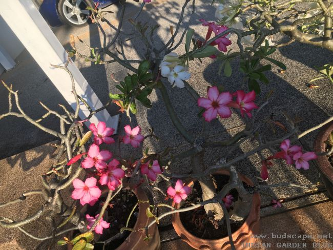adenium flowers in pots