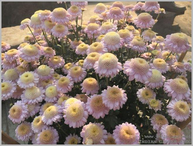 pau chrysanthemum show