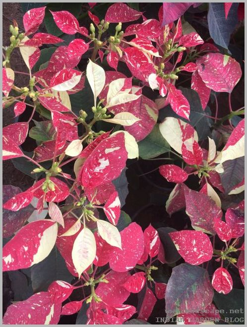 VARIEGATED POINSETTIA