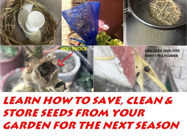HOW TO SAVE SEEDS FOR NEXT YEAR