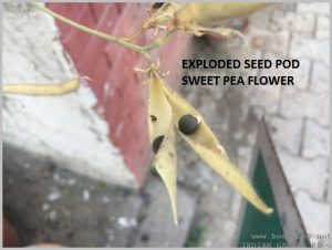 HOW TO SAVE SEEDS - RIPE SEED POD SWEET PEA