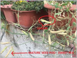 HOW TO SAVE SEEDS - SWEET PEA SEED PODS