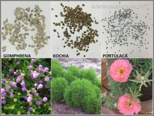 SEED IDENTIFICATION GUIDE GOMPHRENA KOCHIA PORTULACA