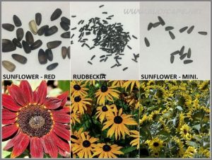 SEED IDENTIFICATION GUIDE RED SUNFLOWER RUDBECKIA MINIATURE SUNFLOWER