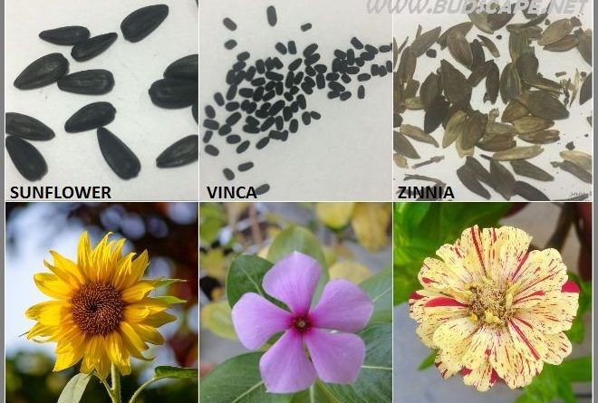 SEED IDENTIFICATION GUIDE SUNFLOWER VINCA ZINNIA