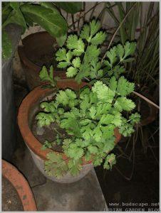 grow-dhania-coriander-plant-home