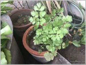 grow-dhania-coriander-pots