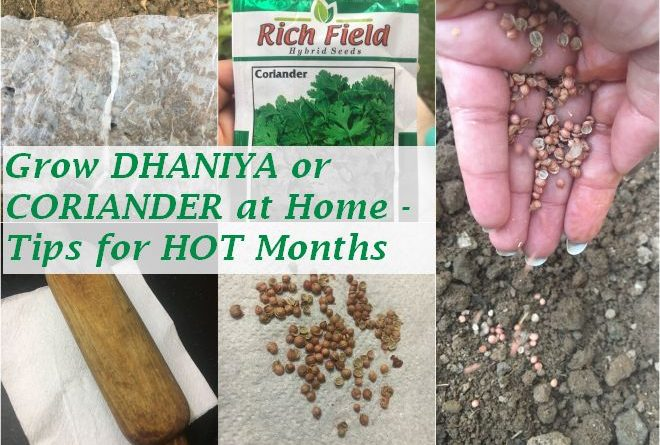 grow dhaniya coriander home tips hot summer months