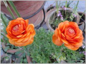 grow-ranunculus-bulbs-container