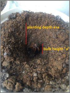 how-deep-plant-bulb