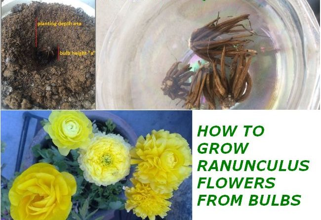 how to grow ranunculus from bulb