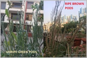 how to know seed pods ripe or unripe