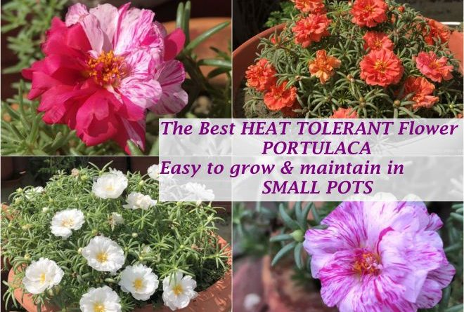Best Heat Tolerant Flower India Portulaca