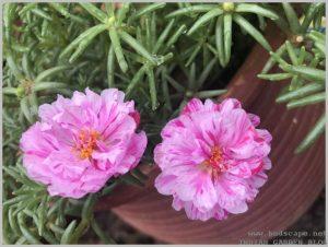 bicolor portulaca pink