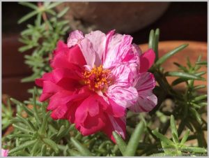 double striped portulaca pink