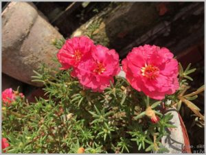 flower for small container portulaca