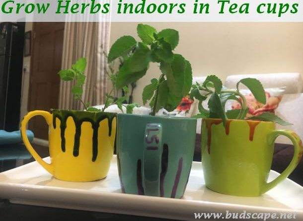 grow herbs indoors tea cups