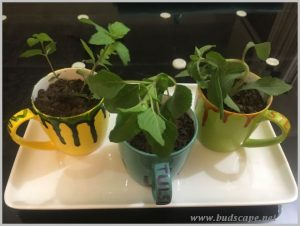 grow tulsi mint stevia indoors