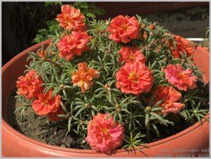 heat tolerant container flower