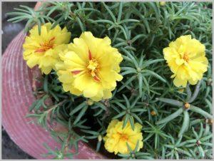 heat tolerant flower india