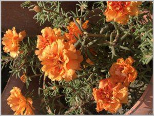 heat tolerant flower orange