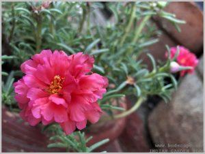 heat tolerant flower portulaca