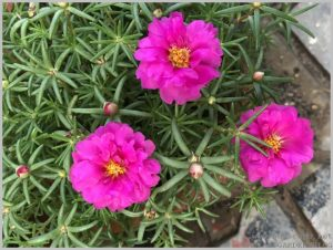 hot pink flower portulaca
