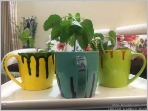 indoor herb garden tea cups tulsi mint stevia