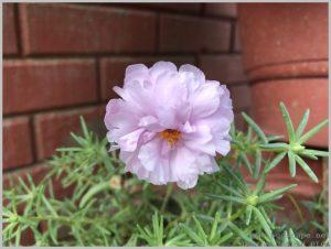 lavender portulaca