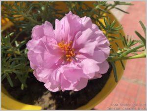 light pink portulaca