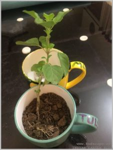 plant tulsi indoors