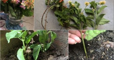grow lantana plant cuttings